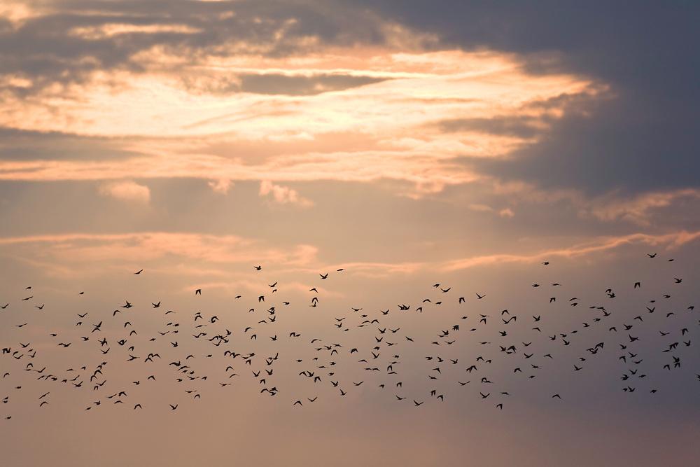 Starenschwarm bei Sonnenuntergang, Sturnus vulgaris, Ost-Slowakei / Starling swarm at sunset, Sturnus vulgaris, East Slovakia