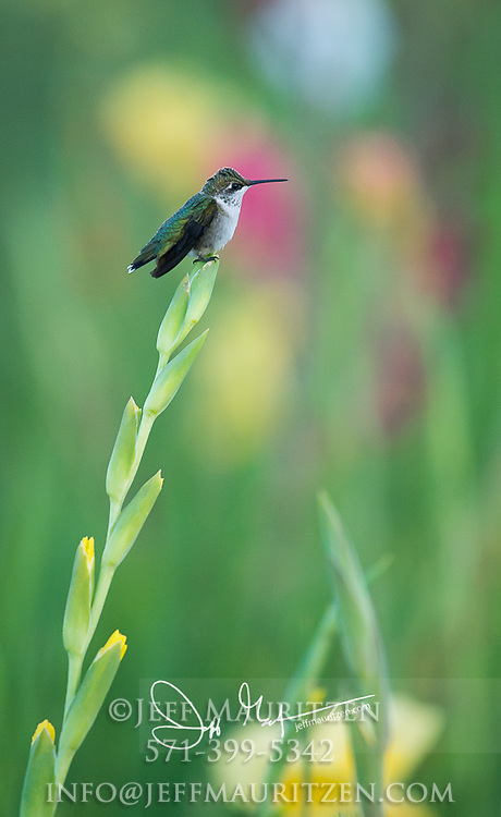 A female Ruby-throated hummingbird perches on the top of a Gladiolus flower in springtime.