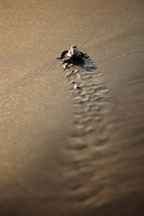Soon the hatchling loggerhead sea turtle (Caretta caretta) will be safe from the ghost crabs and the fast growing heat of the rising morning sun..Dalyan delta, Turkey