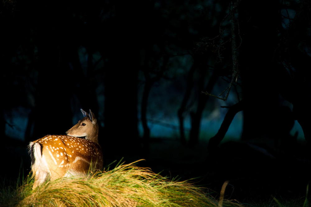 Fallow Deer (Dama dama) doe standing in front of dark forest