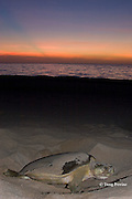 Australian flatback sea turtle, Natator depressus, female digging nest at sunset, Crab Island, off Cape York Peninsula, Torres Strait, Queensland, Australia