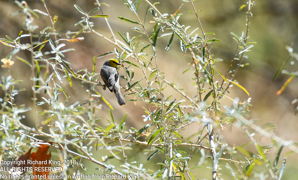 Birding photographs from Camp Verde, Montezuma Castle National Monment