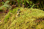 Slender Beaked Moss with a Frog Plet Lichen