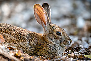 Close up profile of rabbit sitting in brown dead leaves.