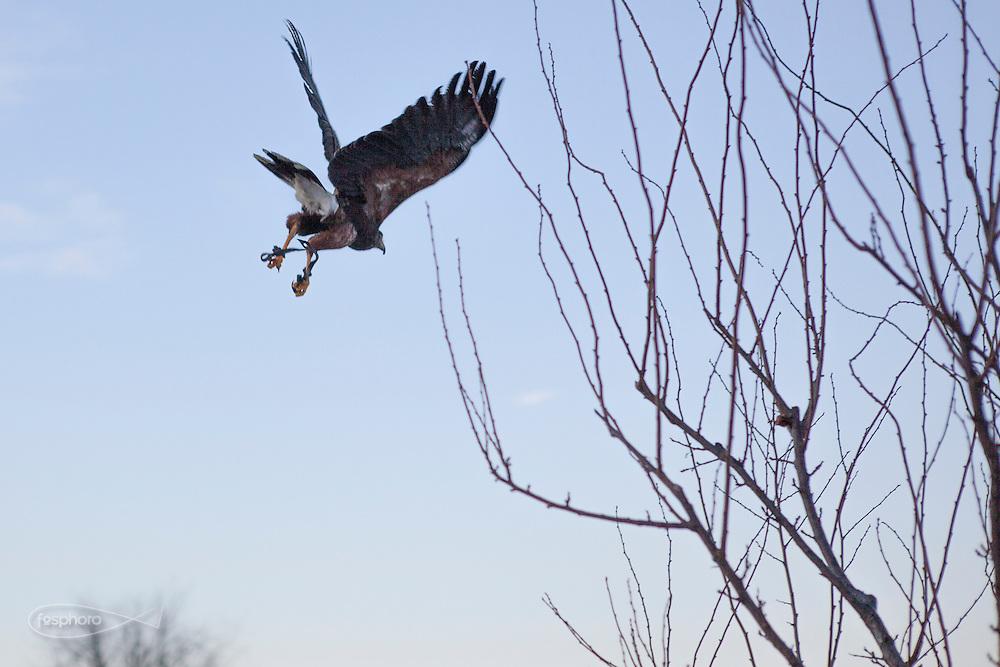 Traversetolo (Parma) - Poiana durante il volo serale: ogni giorno Jessica libera i suoi collabratori per far sgranchire loro le ali nel caso non abbiano cacciato.