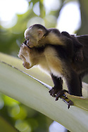 Brown Capuchin Monkey (Cebus paella), adult and juvenile, Osa Peninsula, Costa Rica