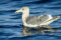 Glaucous-winged Gull (Larus glaucescens), on sea, Oyster Bay nr. Cambell River, Vancouver Island, Canada   Photo: Peter Llewellyn