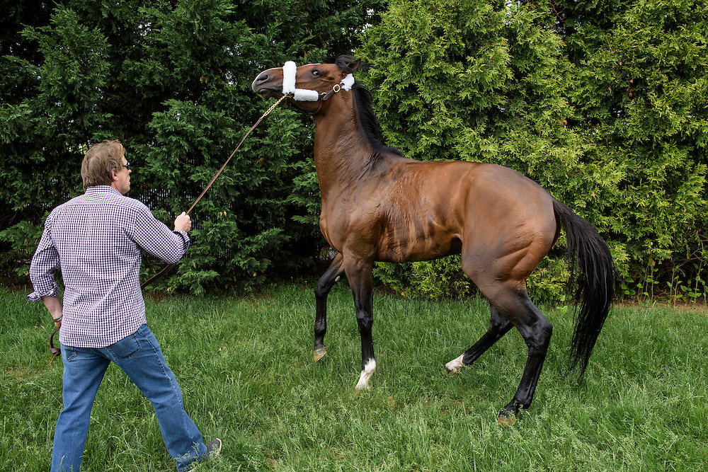 Baltimore, Maryland - May 13, 2015: Kentucky Derby winner American Pharoah arrives at Pimlico Race Track Wednesday May 13, 2015. Crowds make the horse anxious and he was moved from stall 40, where the Derby winner resides, to Stall 30. <br /> <br /> CREDIT: Matt Roth for The New York Times<br /> Assignment ID: 30174537A