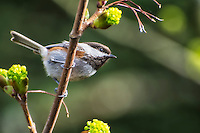 This subspecies of the chestnut-backed chickadee (Poecile rufescens rufescens) has very clearly marked reddish-brown coloring on its flanks, just under the wings. This Pacific Northwest subspecies is found from Northern California all the way to Alaska.