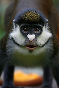 A close-up of a Red Tailed Monkey. Uganda. Africa.