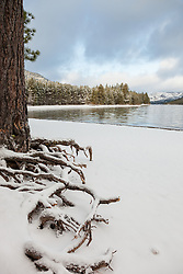 """Snowy Roots at Donner Lake 2"" - These snow covered pine tree roots were photographed at the East shore of Donner Lake, right after a Spring snow shower."