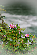 Prickly Rose on the Bank of a Mountain River