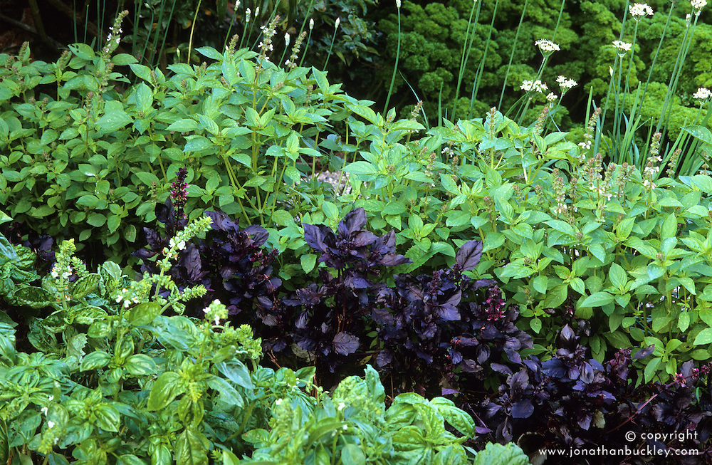 Basil bed. Purple basil, Sweet basil 'Genovese', Lemon basil, Lettuce leaved basil, Garlic chives and Curly leaved parsley.