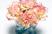 Carnation flower still life