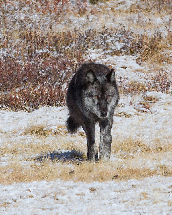 Gray wolves do not live much beyond ten years of age in the wild. 712M, the alpha male of the Canyon Pack, is now almost five years of age and is considered the old patriarch of the clan which now numbers eight wolves.