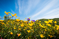 California poppies and wildflowers in the hills during the spring super-bloom.