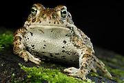 The Natterjack Toad (Epidalea calamita, formerly Bufo calamita) is a toad native to sandy and heathland areas of Northern Europe | Die Kreuzkröte (Bufo calamita; Synonym: Epidalea calamita) ist ein Froschlurch aus der Gattung der Echten Kröten innerhalb der Familie der Kröten (Bufonidae)