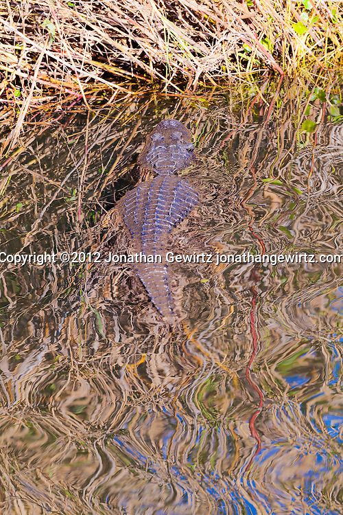 An American alligator (Alligator mississippiensis) resting in a pond, part of Taylor Slough, near the Anhinga Trail in Everglades National Park, Florida. WATERMARKS WILL NOT APPEAR ON PRINTS OR LICENSED IMAGES.
