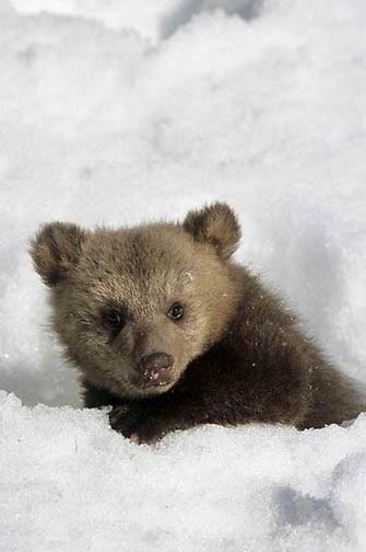 Alaskan Brown or Kodiak Bear, (Ursus middendorffi) Spring cub emerging from den in snow. Winter. Captive Animal.