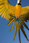 blue and gold macaw (Ara araaarauna) flying.