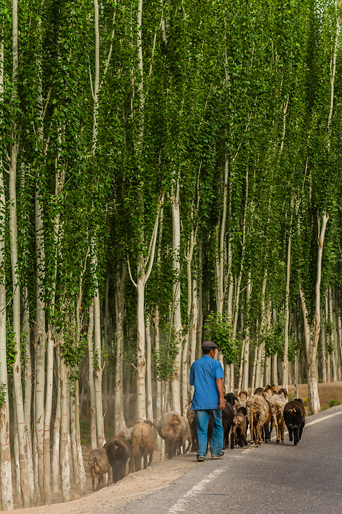 Herding sheep south of the Taklamakan Desert on the south route of the Silk Road, near Lake Dawakul, Xinjiang Province, China.