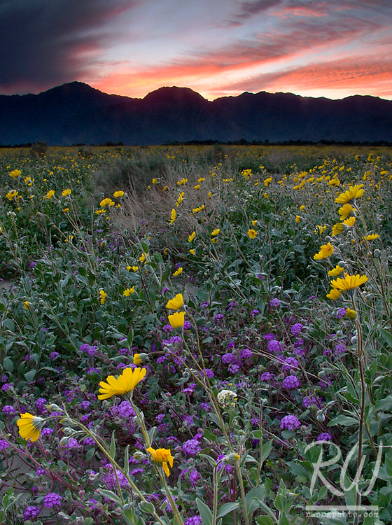 Wildflowers at Sunset, Anza Borrego Desert State Park, California