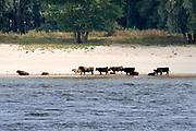 Nederland, Nijmegen, 19-8-2018 Wilde galloway runderen zoeken verkoeling bij het water van de rivier de Waal in de Millingerwaard . Het is al lang erg warm . Hittegolf, watergebrek voor dieren .Foto: Flip Franssen