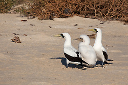 A family of Masked Boobies (Sula dactylactra) on Adele Island, to the northof Broome.  Adele Island is an import bird and turtle nesting site.
