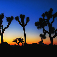 Sunset silhouette of Joshua trees, Joshua Tree National Park, California.