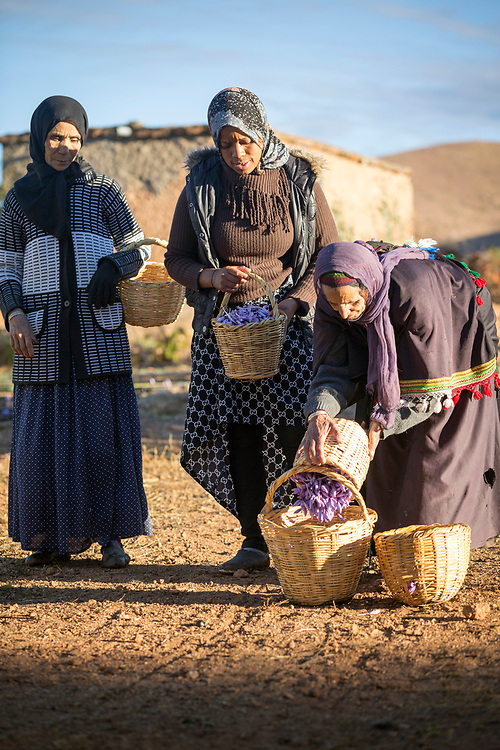 TALIOUINE, MOROCCO - October 25th 2015 - Farmers harvest saffron flowers at a farm in Taliouine, Sirwa Mountain Range, Souss Massa Draa region of Southern Morocco