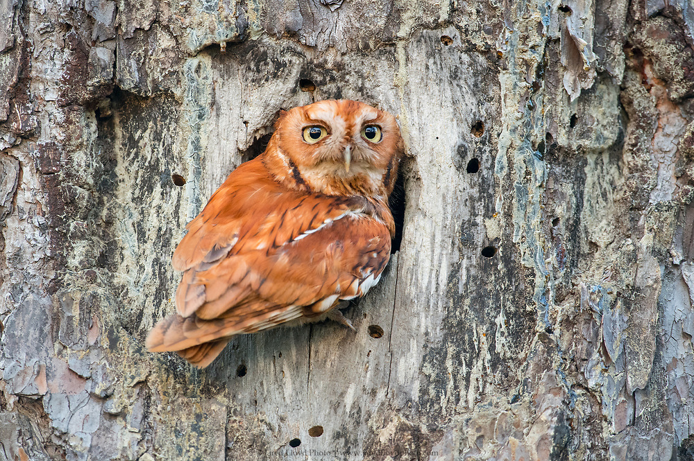 a red phase eastern screech owl perches briefly in front of his cavity after bringing food to the three owlets inside