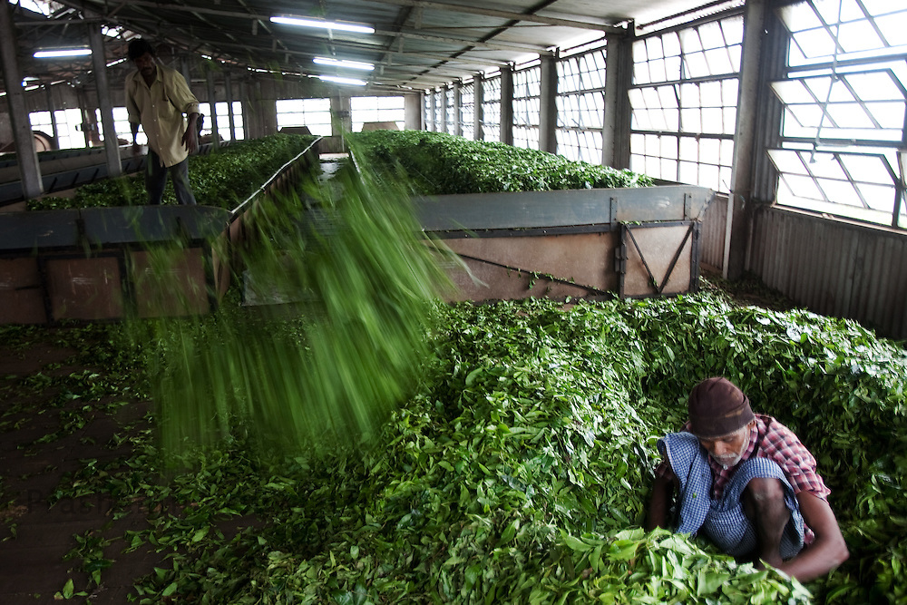 A worker throws tea leaves from a withering trough at a tea factory in Conoor, India, on Thursday May 20, 2010. Photographer: Prashanth Vishwanathan/Bloomberg News