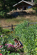 Woman kneeling working in vegetale  garden with log cabin in background, Orcas Island, San Juans, Washington, USA