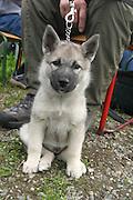 Selbusjøens Tussi, norsk grÃ¥ elghund, Ã¥tte uker gammel. Norwegian Elkhound is one of the ancient Northern spitz-type breed of dog. The National Dog of Norway. Used for hunting moose (elk). Norsk elghund grå.
