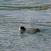 Una folaga sul fiume Adda...A coot on the Adda river.