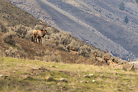 A herd of Rocky Mountain elk rest in the sagebrush desert on a sunny winter day east of Mount Rainier near the Tieton River in  Washington State. The large antlered bull stands guard as his harem of females relax and get some rest.
