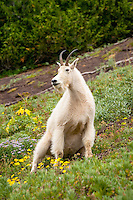 A female mountain goat sits in an alpine meadow near the top of Hurricane Ridge in the Olympic Mountains of the Pacific Northwest.