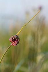 Slangenlook, Allium scorodoprasum