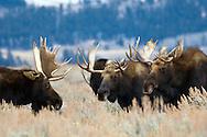 Three Bull moose, the committee, Grand Teton National Park