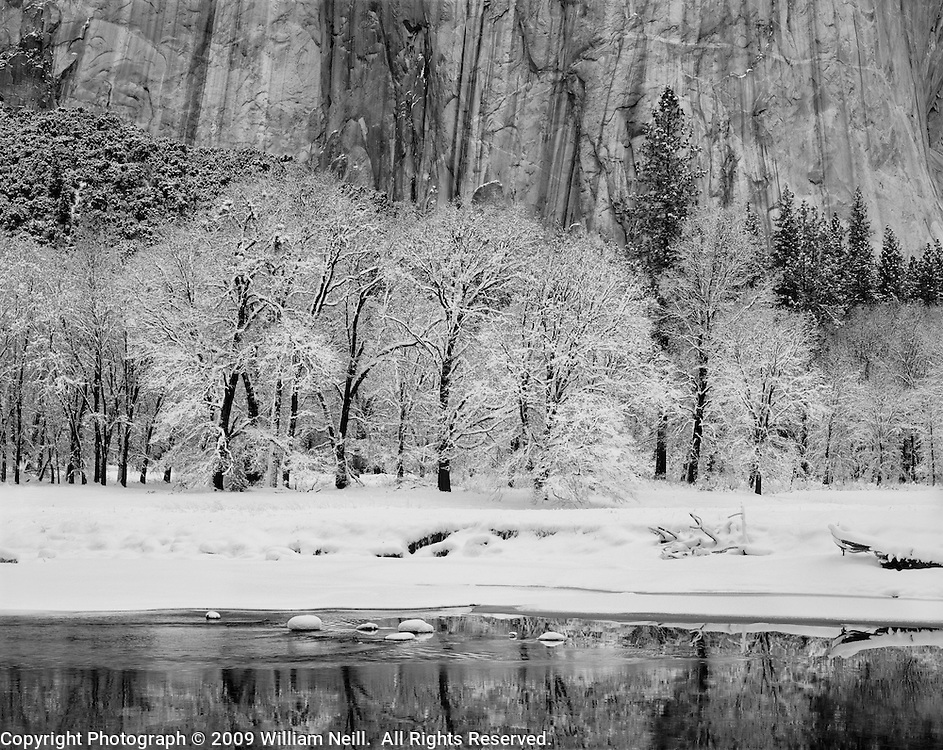 Black oaks, Merced River and El Capitan, Yosemite Valley, Yosemite National Park, California