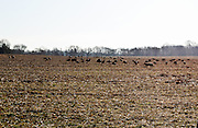 Wild turkeys gathered in a former soy field in Elk Township, Gloucester County. NJ.