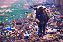 Donkey, hobbled and surrounded by rubbish, waiting for its owner to return, Tamaslouht, Morocco.