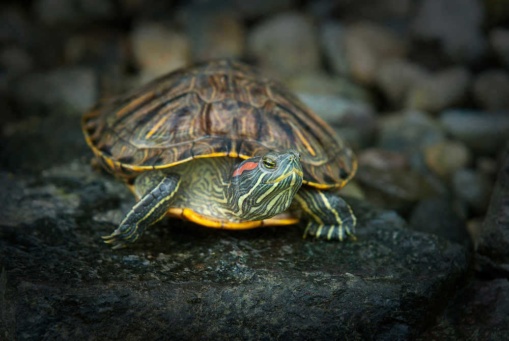Painted Turtle (Chrysemys picta) sunbathing