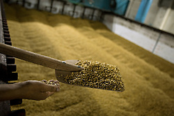 "Workers check the barley used to make Murree beer, Rawalpindi, Pakistan, Sept. 12, 2007. With a limited market in Islamic Pakistan, the company is looking for opportunities abroad. Soon the brewery's beer will be sold in Britain and India with the advertising slogan: ""Have a Murree with your curry."""