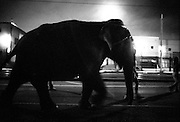 elephants walk through downtown Los Angeles, California