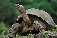 Giant tortoise, Geochelone nigra, Galapagos Islands