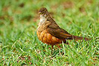 Rufous-brown Solitaire (Cichlopsis leucogenys), Araras Lodge,  Mato Grosso, Brazil (Photo: Peter Llewellyn)