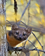 Pine Marten, fall colors, Caribou/Targhee National Forest, Swan Valley, Idaho