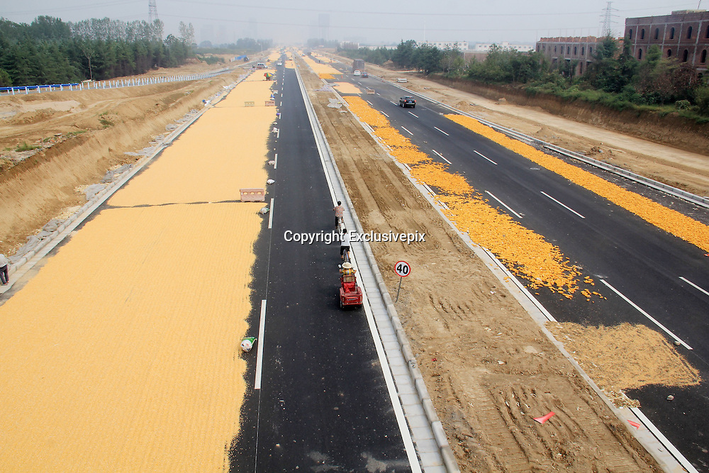 """ZHENGZHOU, CHINA - SEPTEMBER 26: (CHINA OUT) <br /> <br /> Corn seeds get dried in the sun by villagers at a road on September 26, 2014 in Zhengzhou, Henan province of China. A road was full of corn seeds which looks like """"Golden road"""" on September 26, 2014 in Zhengzhou, Henan province of China. <br /> ©Exclusivepix"""
