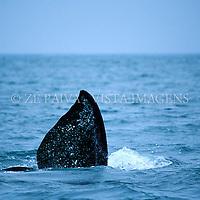 Nadadeira peitoral de baleia-franca, Area de Protecao Ambiental da baleia-franca, Imbituba, litoral sul de Santa Catarina, Brasil. foto de Ze Paiva/Vista Imagens